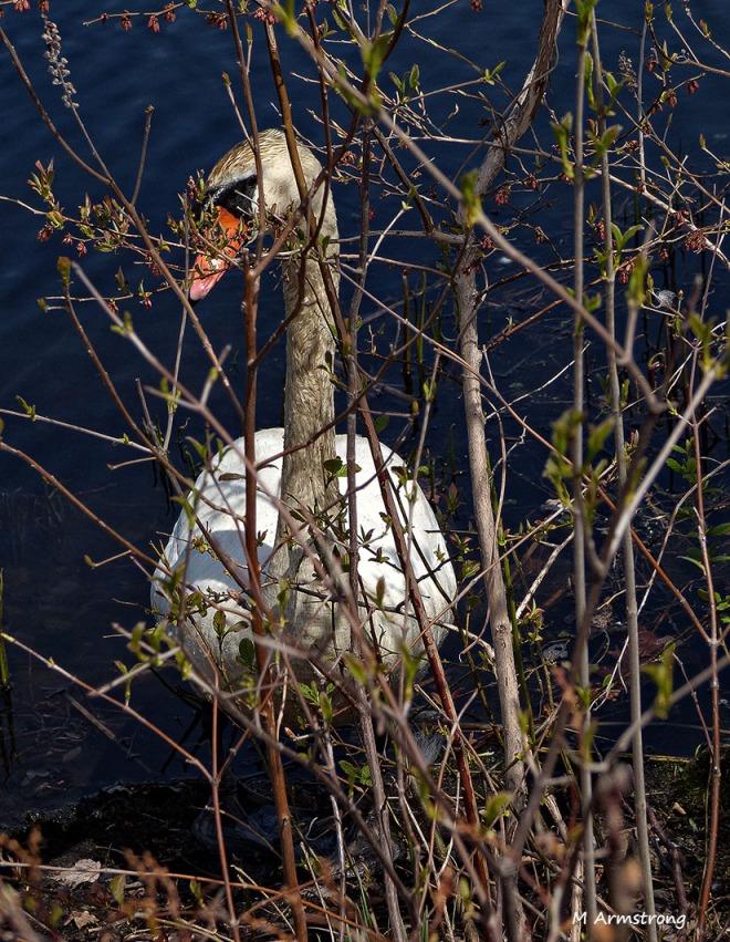 75-Swans-May2014_020
