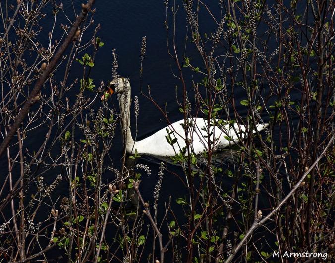75-Swans-May2014_042