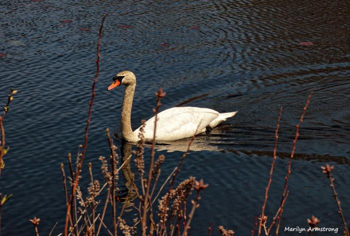 75-Swans-May2014_048