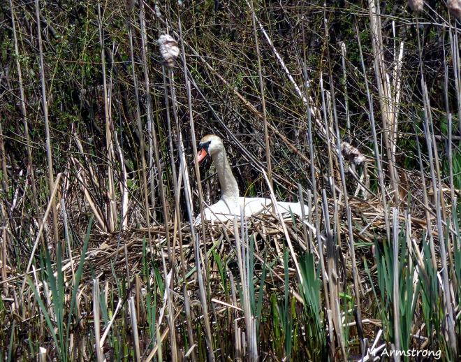 75-Swans-May2014_056