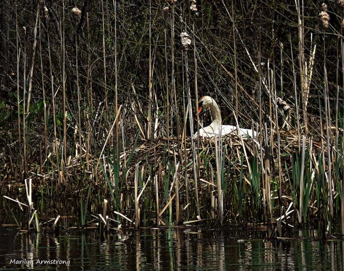 75-Swans-May2014_059
