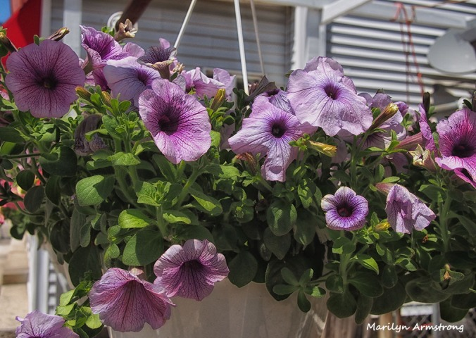 violet petunias
