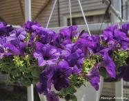 Hanging purple petunias