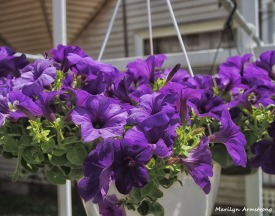 Hanging purple petunias