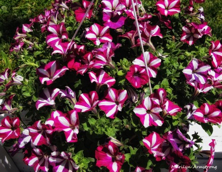 Purple striped petunias