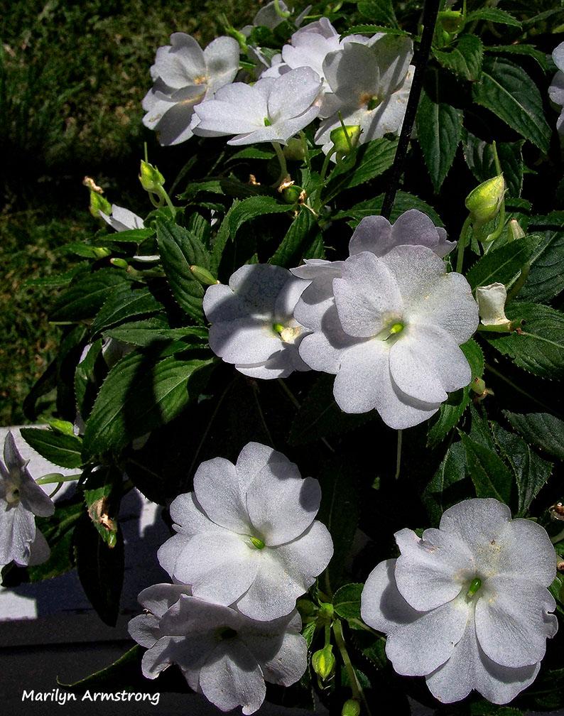 white begonias flowershop