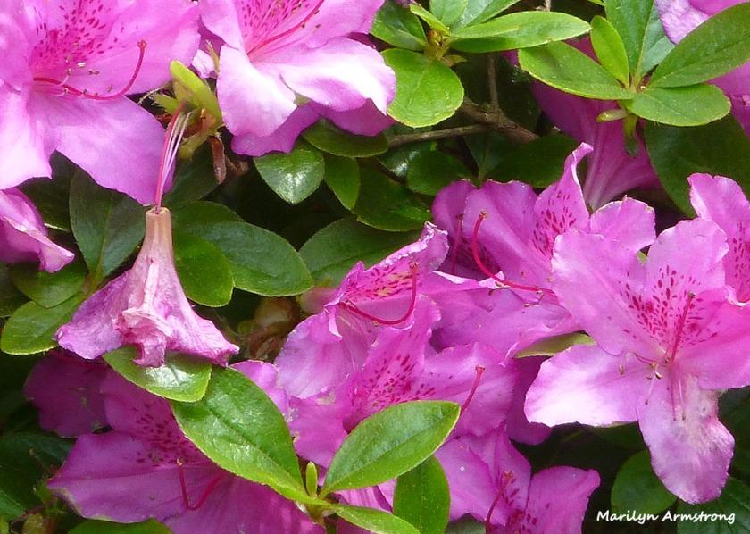 more azalea