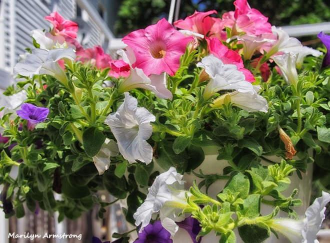 red white blue petunias