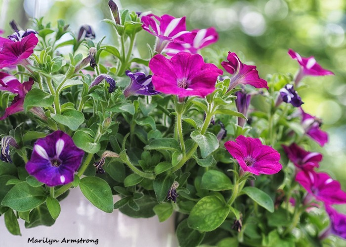Petunias on the morning of the Summer Solstice