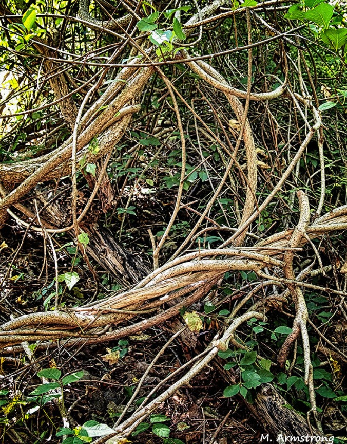 twisted vines manchaug