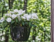 white begonia 3