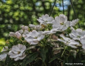 white begonia 2