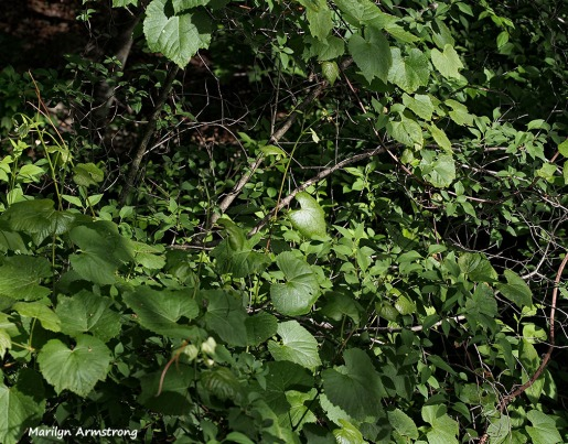wild grape vine