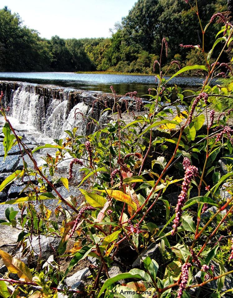 whitins dam flowers