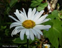 72-Daisy-Flowers_23