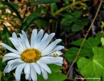 72-Daisy-Flowers_26