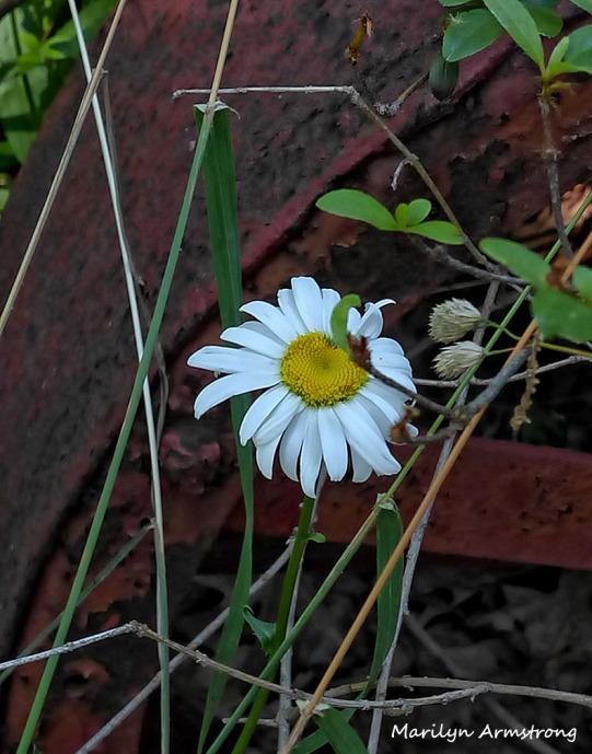 72-Daisy-Flowers_30