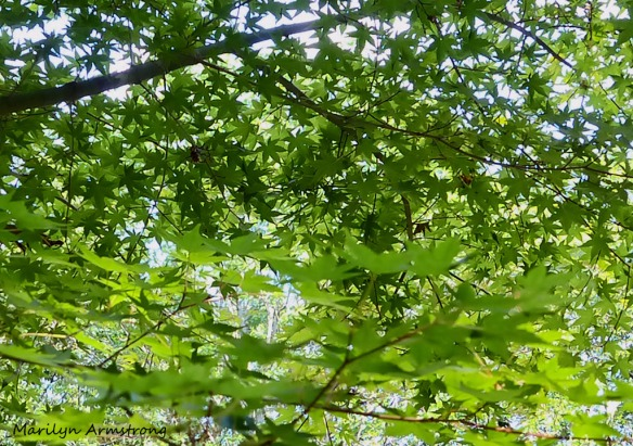 Japanese maple and sunlight