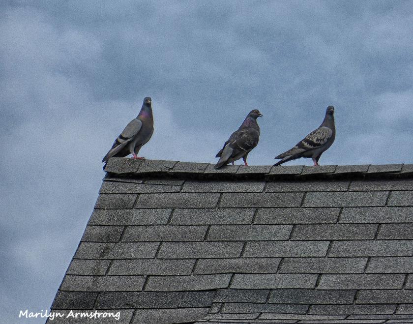 72-Pigeons_44