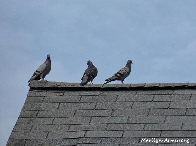 72-Pigeons_45