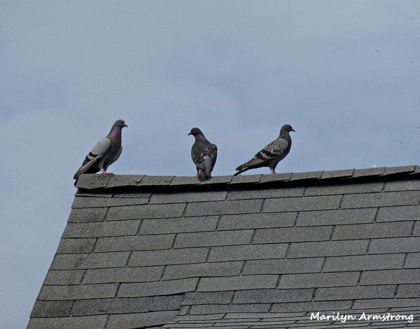 72-Pigeons_48