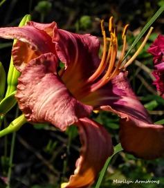 72-RedLily-Flowers_08