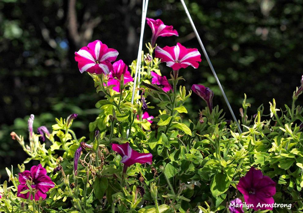 deck flowers purple petunias summer