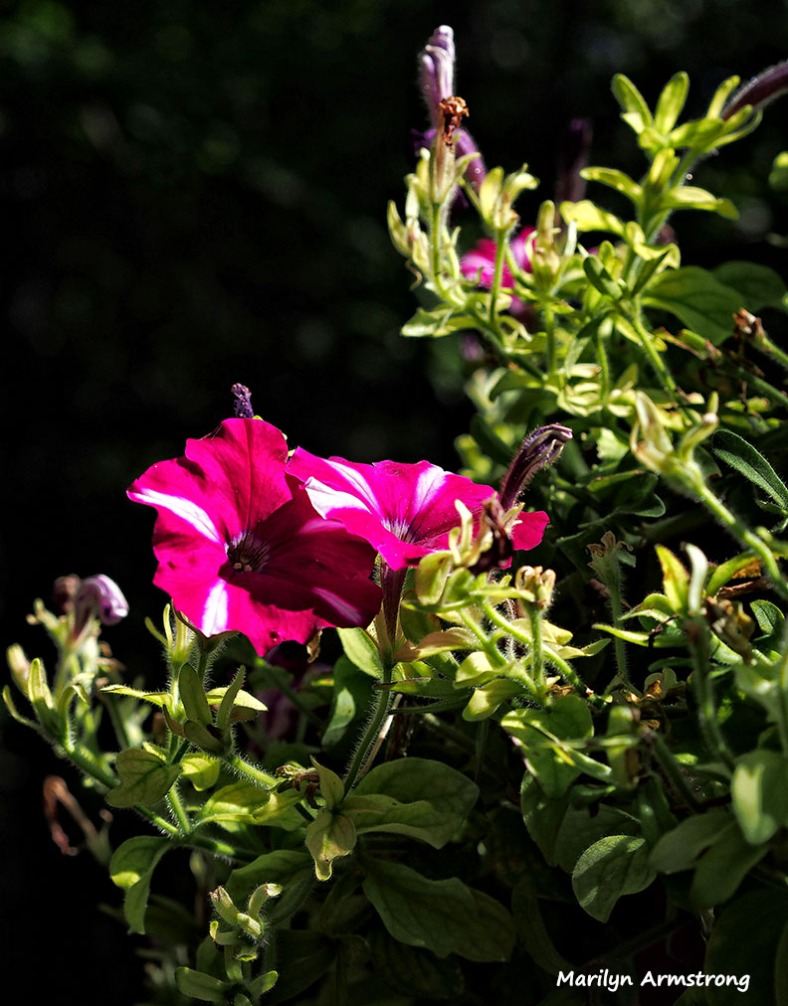 deck flowers petunia summer