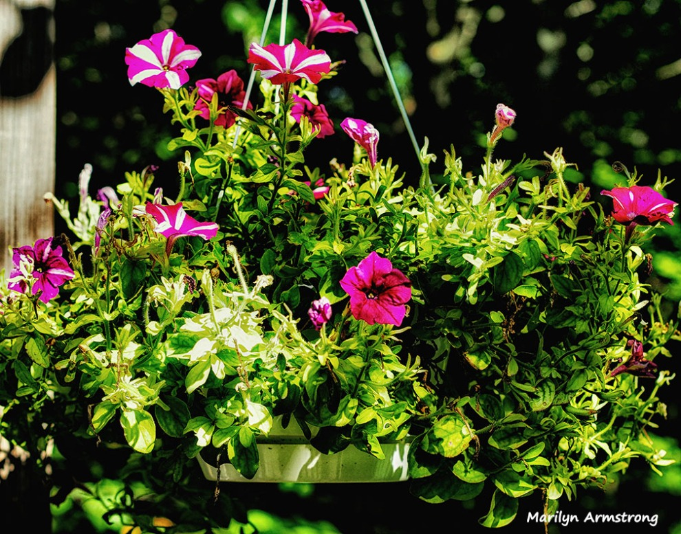 deck flowers summer petunia