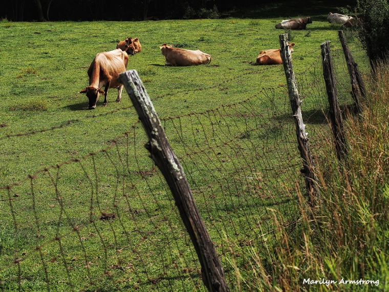 cows in pasture on the farm