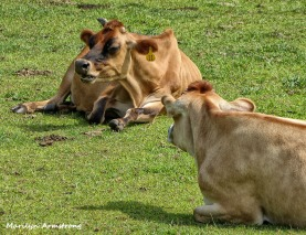 The cows know when it's time to lay in the grass and just relax