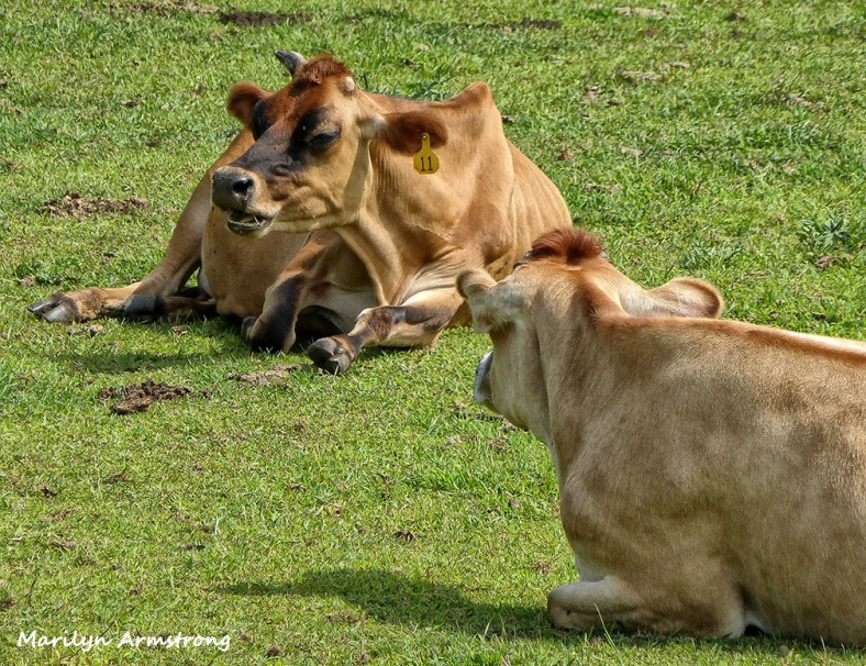 Cows chatting in the pasture