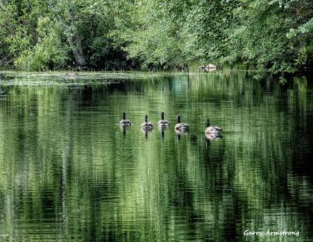 72-Geese-GA_60