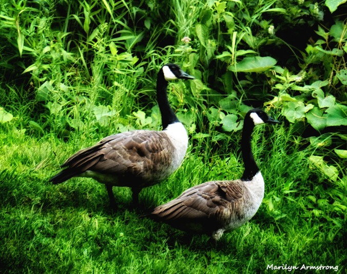 72-Geese_03