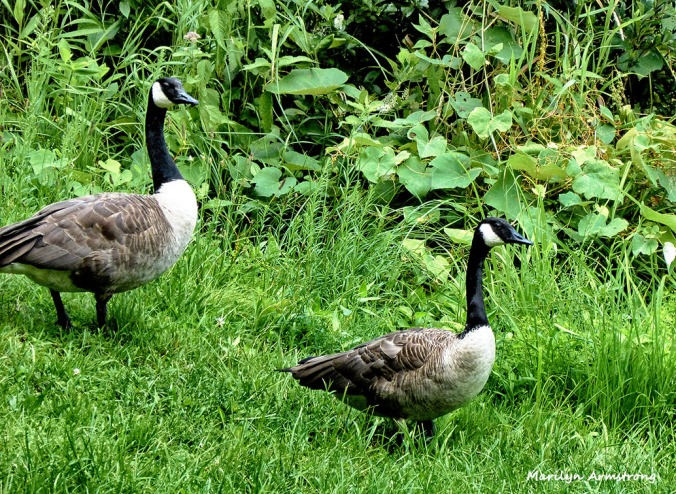 72-Geese_04