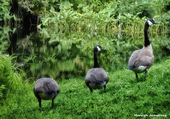 72-Geese_07