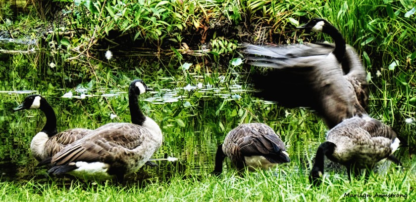 72-Geese_10