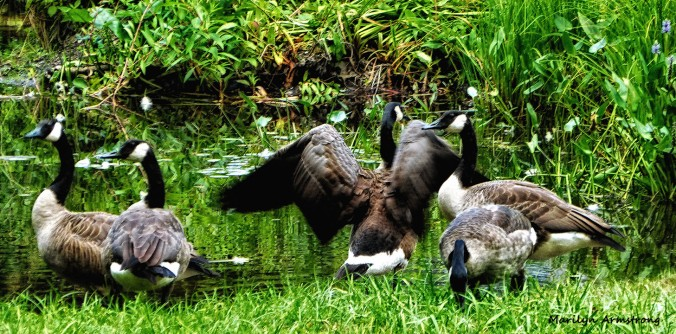 72-Geese_11