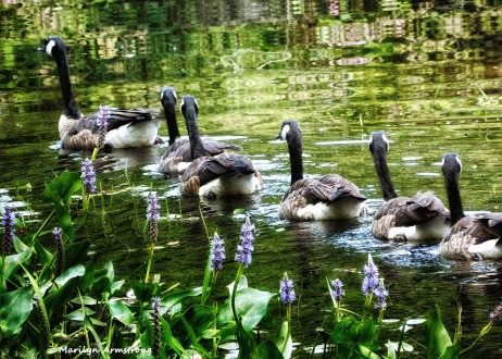 72-Geese_18