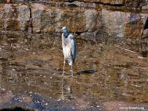 72-Heron-GA_025