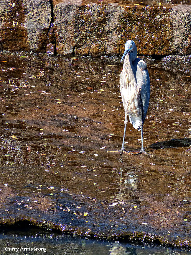 One heron, waiting for a fish