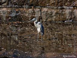 72-Heron_098