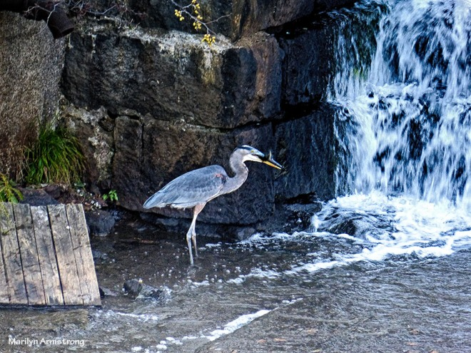 Mr. Heron catches a fish.