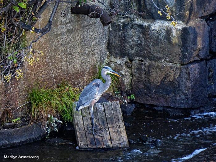 72-Heron_145
