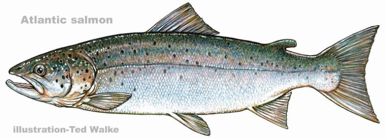 atlantic_salmon