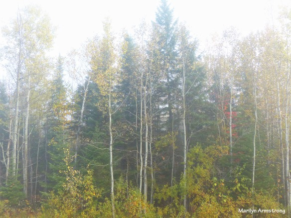 Morning mist on a stand of autumn birch