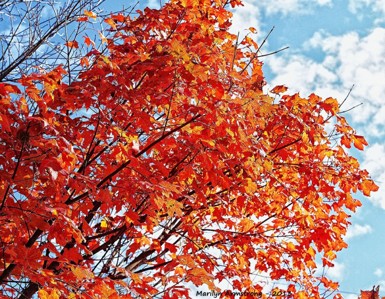 autumn maple foliage
