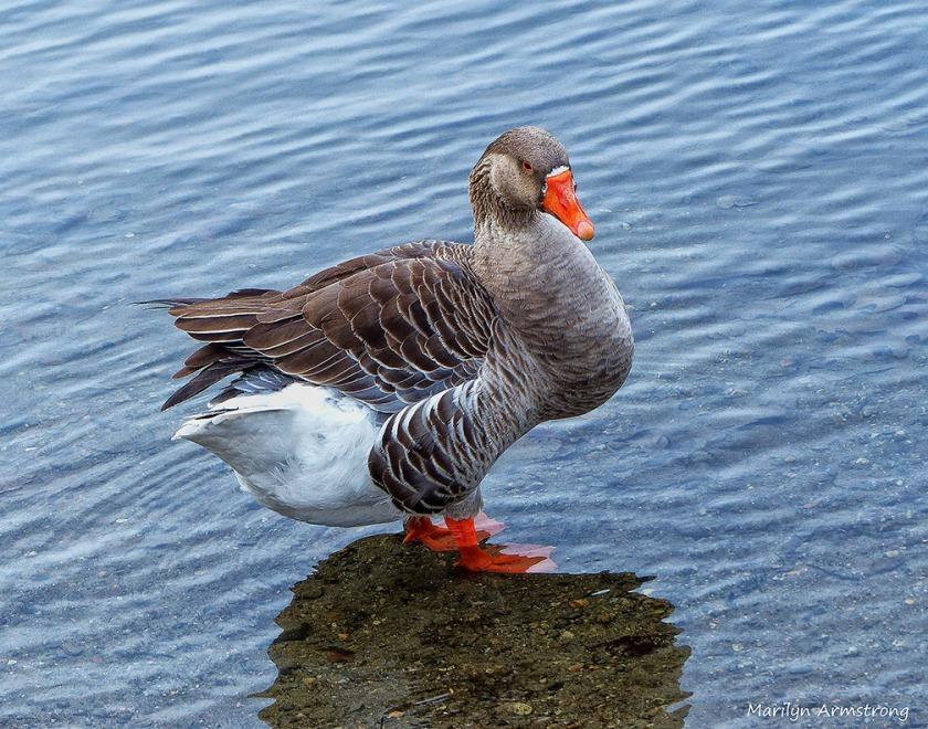 72-Mr. Goose _00