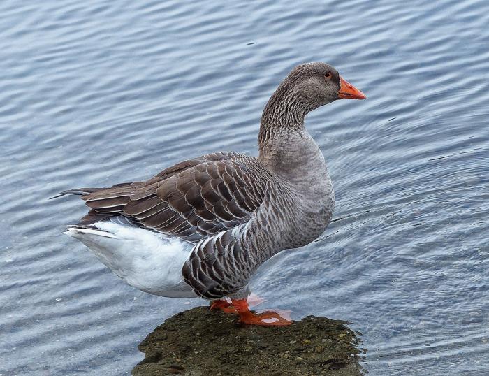 72-Mr-Goose_25