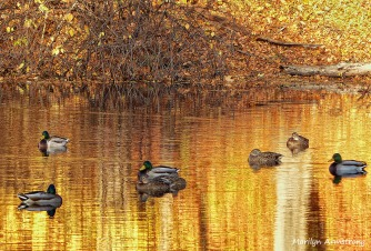 Ducks on the Mumford in November
